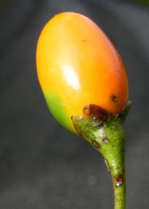 Grosser Kaenguruapfel Kangaroo Apple Frucht orange blatt gruen Solanum laciniatum 14