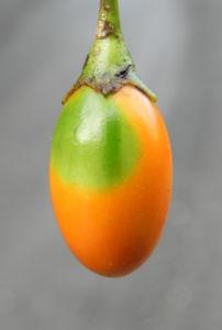 Grosser Kaenguruapfel Kangaroo Apple Frucht orange blatt gruen Solanum laciniatum 16