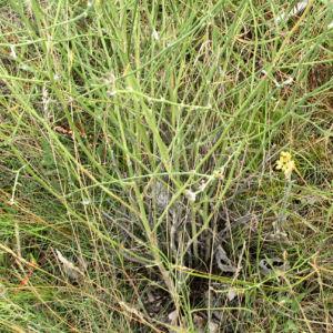 Grosser Knorpellattich Bluete gelb Chondrilla juncea 09