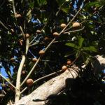 Grosser Sapote Baum Frucht braun Pouteria sapota 01