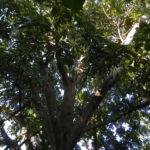 Grosser Sapote Baum Frucht braun Pouteria sapota 02