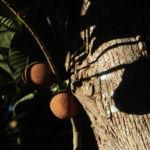 Grosser Sapote Baum Frucht braun Pouteria sapota 04