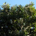 Zurück zum kompletten Bilderset Große Sapote Frucht braun Pouteria sapota