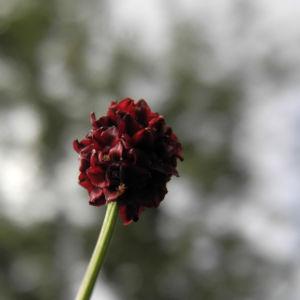 Bild: Grosser Wiesenknopf Bluete rot Sanguisorba officinalis