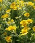 Grosses Flohkraut Bluete gelb Pulicaria dysenterica 02