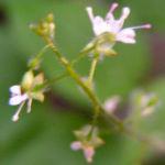 Grosses Hexenkraut Circaea lutetiana 04