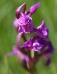 Grosses Knabenkraut Bluete pink Orchis muscula 04