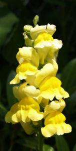 Grosses Loewenmaeulchen Bluete gelb Antirrhinum majus 01