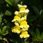 Grosses Loewenmaeulchen Bluete gelb Antirrhinum majus 02