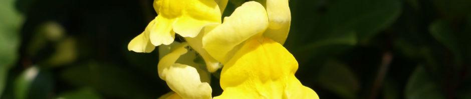 Anklicken um das ganze Bild zu sehen Grosses Löwenmäulchen Blüte gelb Antirrhinum majus