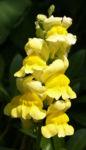 Grosses Loewenmaeulchen Bluete gelb Antirrhinum majus 03