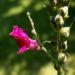 Zurück zum kompletten Bilderset Großes Löwenmäulchen Blüte rot Antirrhinum majus