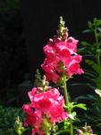 Bild: Großes Löwenmaul Blüte rot Antirrhinum majus