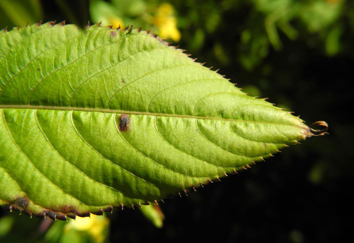 Grosses Springkraut Blatt gruen Impatiens noli tangere