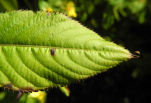 Grosses Springkraut Blatt gruen Impatiens noli tangere 03