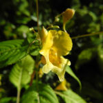 Grosses Springkraut Bluete gelb Impatiens noli tangere 02