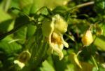 Grosses Springkraut Bluete gelb Impatiens noli tangere 03