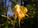 Grosses Springkraut Bluete gelb Impatiens noli tangere 04
