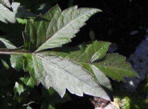 Grossfiedrige Dahlie Blatt gruen Dahlia pinnata 11