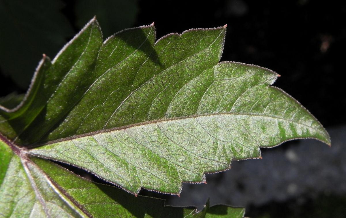 Grossfiedrige Dahlie Blatt gruen Dahlia pinnata