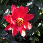 Grossfiedrige Dahlie Bluete rot Dahlia pinnata 04