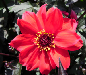 Grossfiedrige Dahlie Bluete rot Dahlia pinnata 09