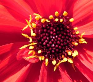 Grossfiedrige Dahlie Bluete rot Dahlia pinnata 16