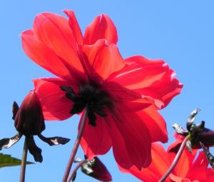 Bild: Grossfiedrige Dahlie Bluete rot Dahlia pinnata