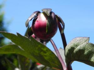 Grossfiedrige Dahlie Knospe rot gruen Dahlia pinnata 15