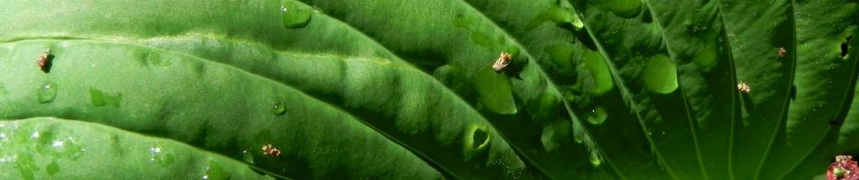 gruenblaettrige-riesen-funkie-blatt-gruen-hosta-elata