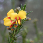 Guinea Flower Bush Pea Blüte orange gelb Pultenaea mollis 01