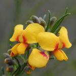 Guinea Flower Bush Pea Blüte orange gelb Pultenaea mollis 04