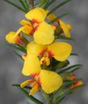 Bild: Guinea Flower Bush Pea Blüte orange gelb Pultenaea mollis