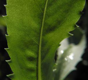 Haarige Grindelie Blatt gruen Grindelia hirsutula 29