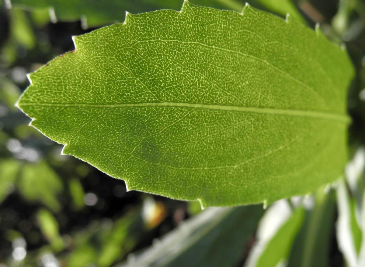 Haarige Grindelie Blatt gruen Grindelia hirsutula