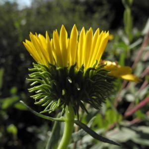 Haarige Grindelie Bluete gelb Grindelia hirsutula 12