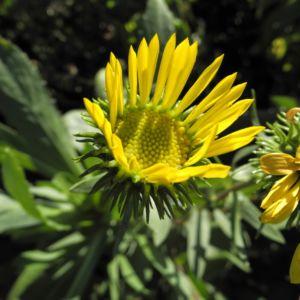 Haarige Grindelie Bluete gelb Grindelia hirsutula 13