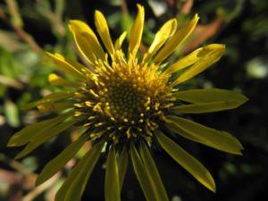 Haarige Grindelie Bluete gelb Grindelia hirsutula 19