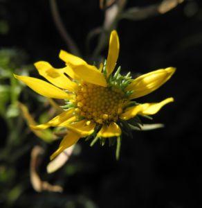 Haarige Grindelie Bluete gelb Grindelia hirsutula 20
