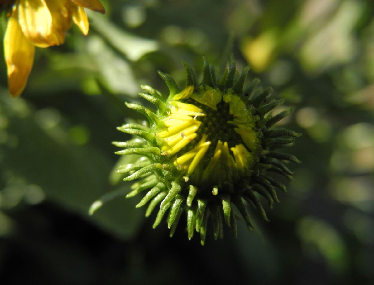 Haarige Grindelie Bluete gelb Grindelia hirsutula