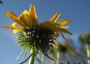 Haarige Grindelie Bluete gelb Grindelia hirsutula 24