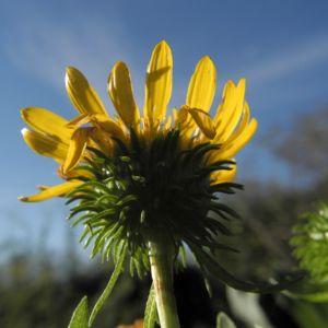Haarige Grindelie Bluete gelb Grindelia hirsutula 25