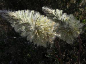 Haarschöpfchen Blüte silber Ptilotus nobilis 1