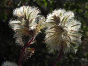 Haarschöpfchen Blüte silber Ptilotus nobilis 2