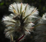 Haarschöpfchen Blüte silber Ptilotus nobilis 4