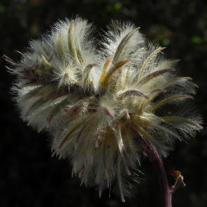 Haarschöpfchen Blüte silber Ptilotus nobilis 5