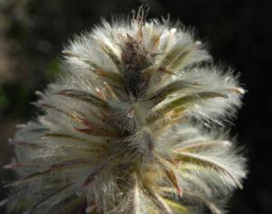 Bild: Haarschöpfchen Blüte silber Ptilotus nobilis