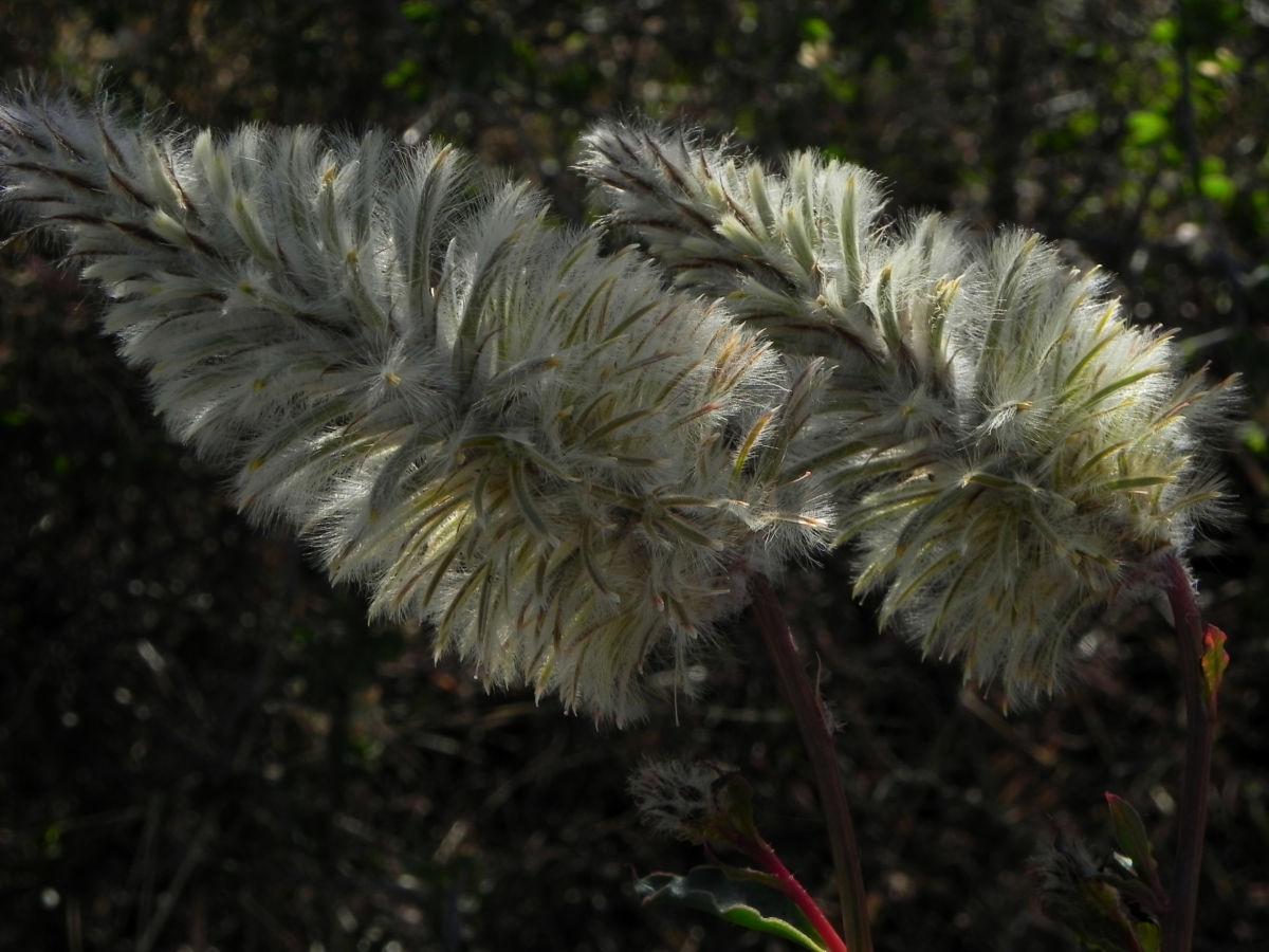 Haarschöpfchen Blüte silber Ptilotus nobilis