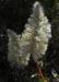 Zurück zum kompletten Bilderset Haarschöpfchen Blüte silber Ptilotus nobilis
