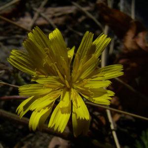 Habichtskraut Hieracium sylvestris 01